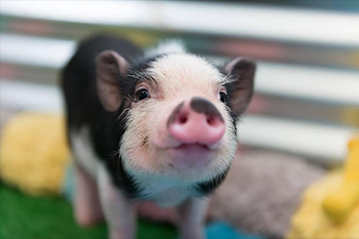Verwen eens een varken