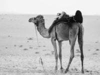Kamelen melken